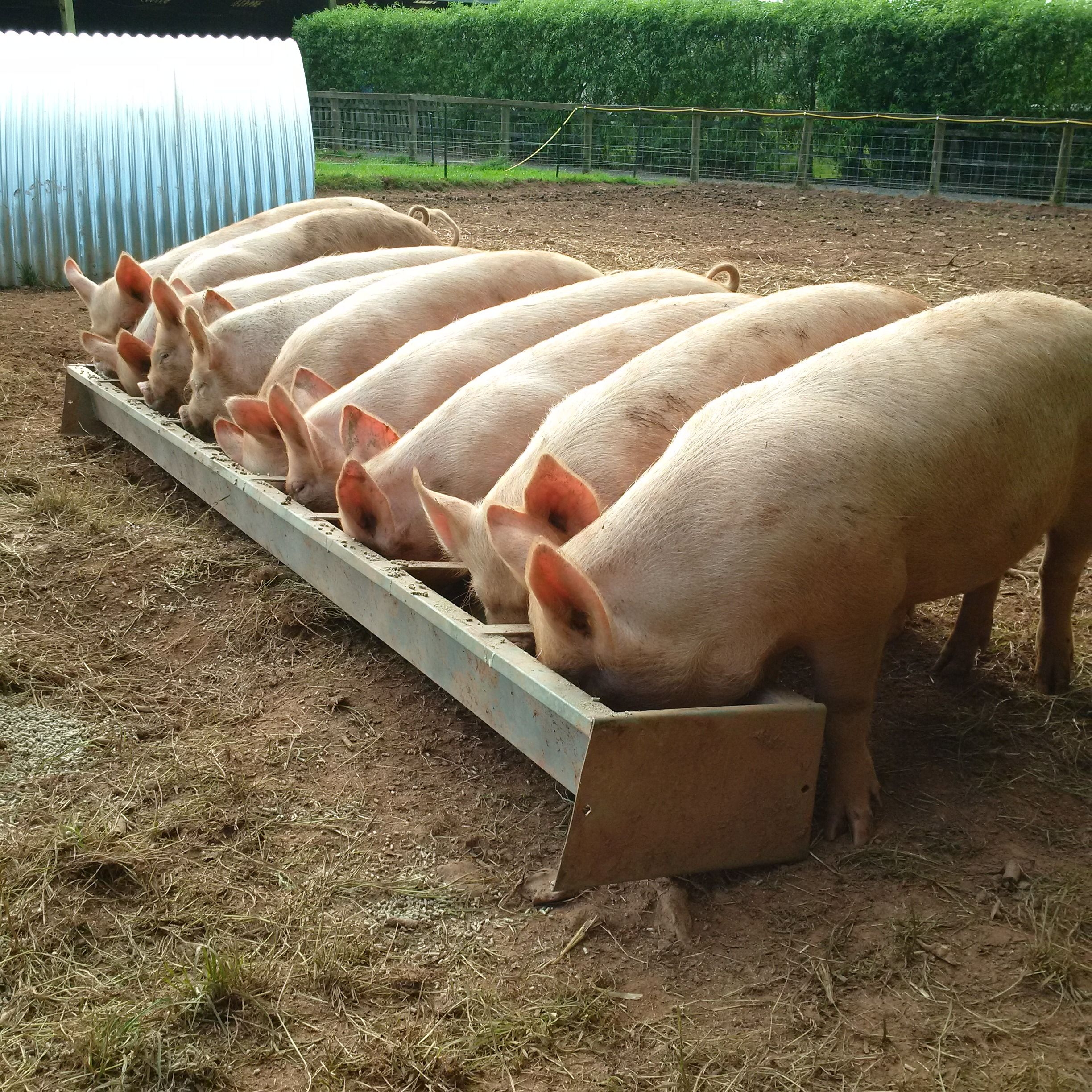 Middle White Pigs At Feeding Time